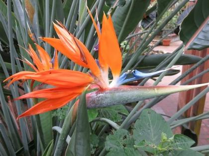極楽鳥花 (2)