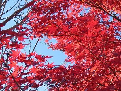 モミジの紅葉 (1)