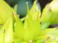 キリンソウの雌しべ