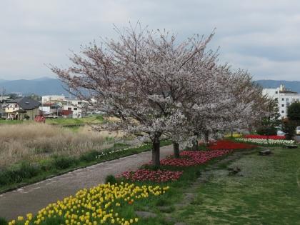 4月 チューリップ (2)