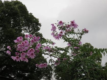 皇帝ダリア (1)