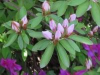 ヒラドツツジの葉