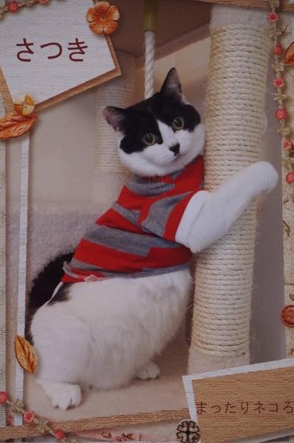 ラガー猫さっちゃん
