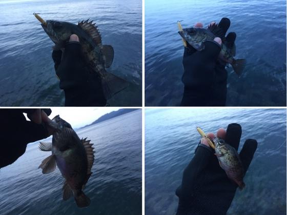20160206008_ワンダーで釣れたメバル達