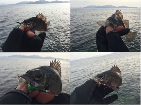 20160206012_カブラで釣れたメバル