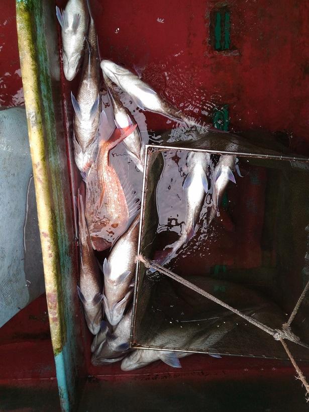 GO!GO!FISHING 1/8 ビニール真鯛...