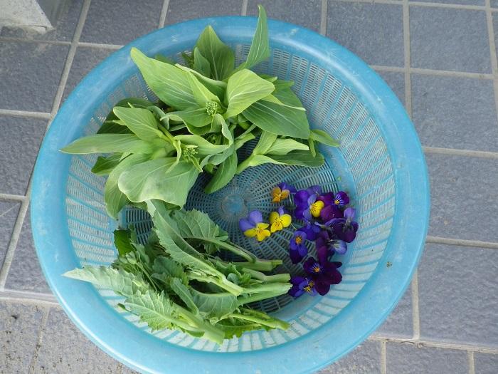 収穫菜花15_12_31