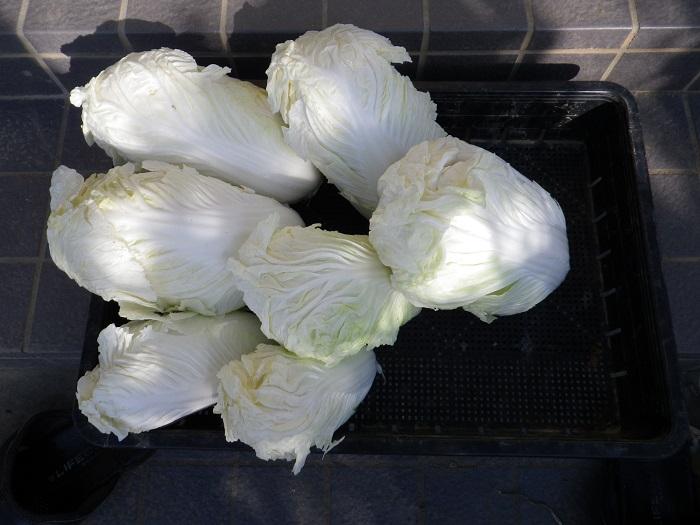 白菜4_16_01_11