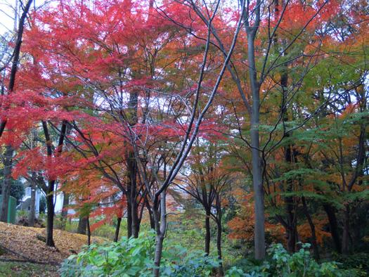 茶屋ヶ坂公園の紅葉。