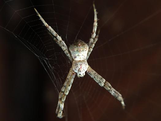 Xの蜘蛛。