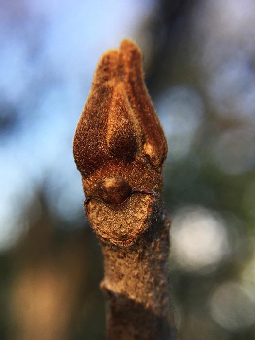 名古屋のヤマウルシの冬芽?