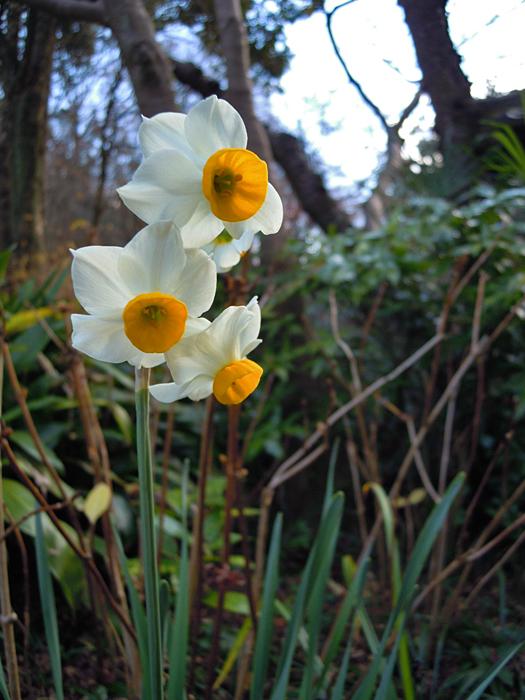 ニホンズイセンの花。