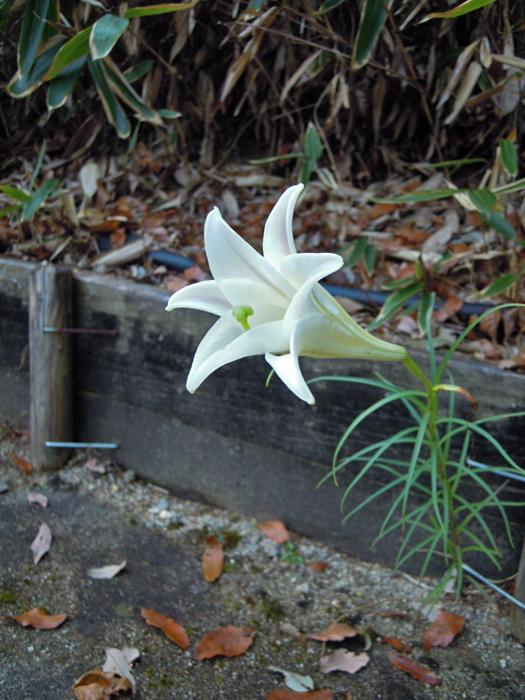 タカサゴユリの花。