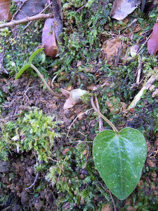 スズカカンアオイの葉。