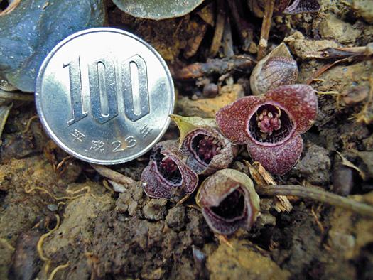 ゼニバサイシンの花の大きさ。