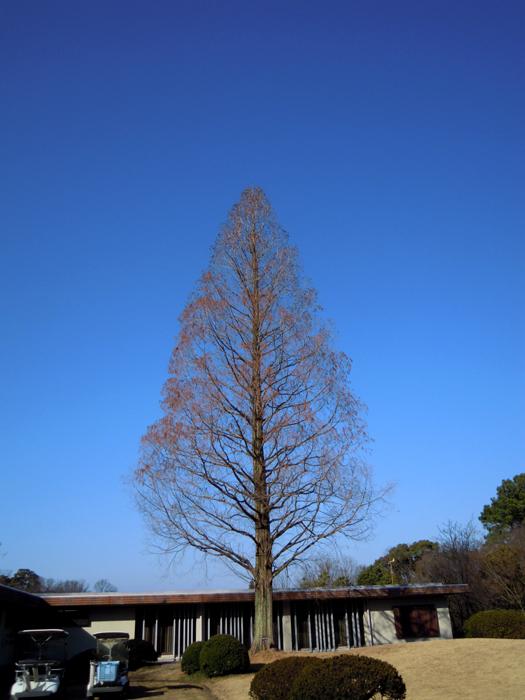 メタセコイアの樹形。