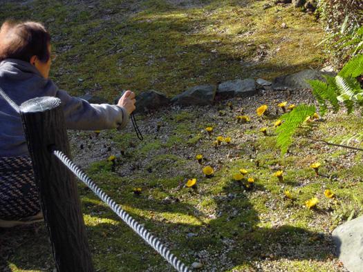 フクジュソウを撮影するおばあさん。