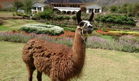 ペルーのリャマ