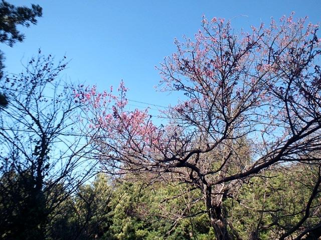 寒緋桜(かんひざくら)(130175 byte)