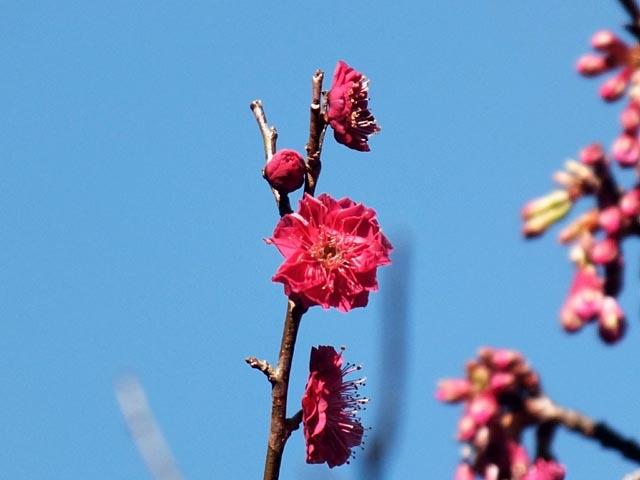 寒緋桜(かんひざくら)(37757 byte)