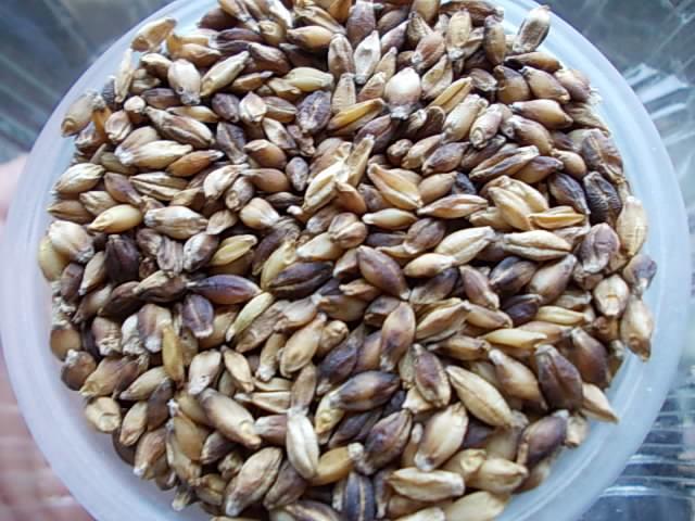 Daishimochi hulless barley 20151223