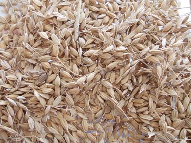 Nourin 24 upland rice 20151224