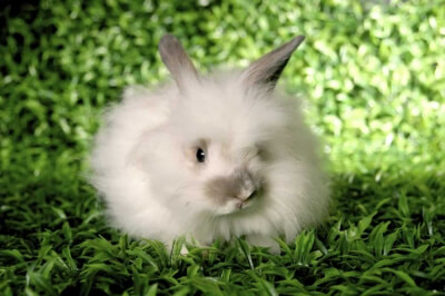 Angora-Rabbit-on-grass-400x266.jpg