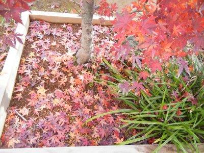モミジ樹下の落葉