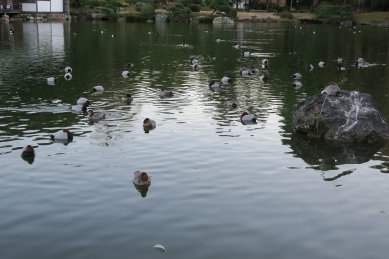 大泉水は、水鳥の寝床