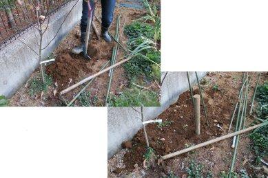 カサブランカ球根植付け 前後