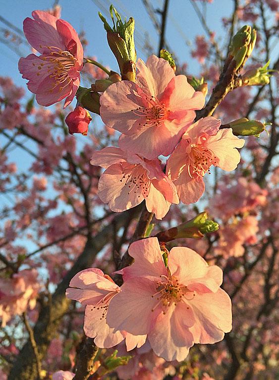 160214河津桜3