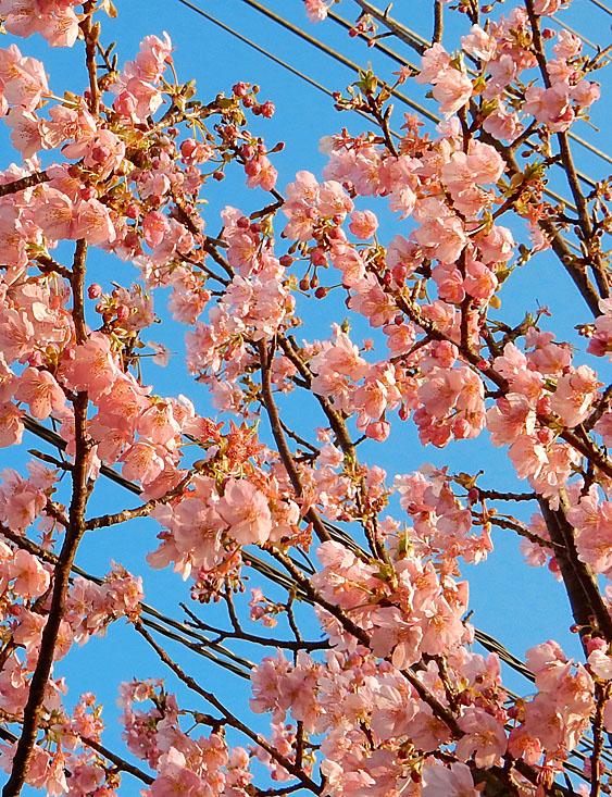 160214河津桜1