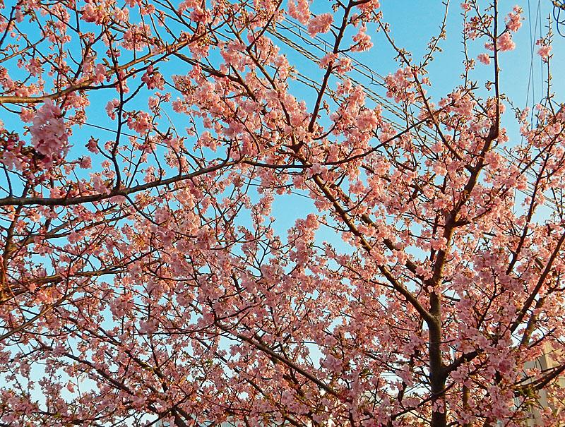 160214河津桜2