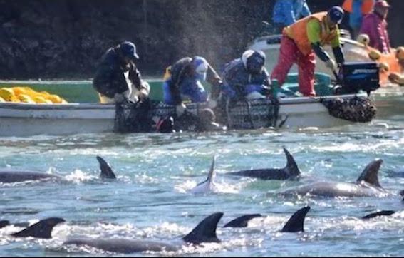 和歌山県太地町追い込み漁