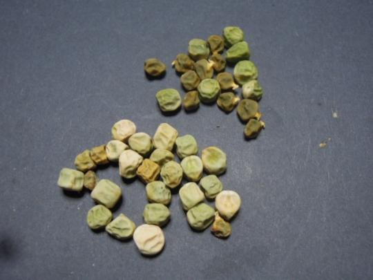 スナックエンドウ 種蒔き H2802