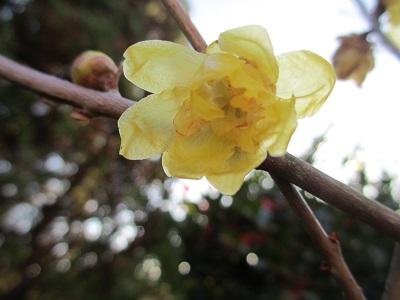 蝋梅さんが咲き始めてたよ