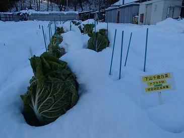 下山千歳白菜 降雪1