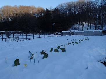 下山千歳白菜 降雪2