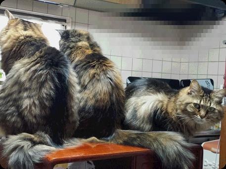 2キジ姉妹とサビちゃん