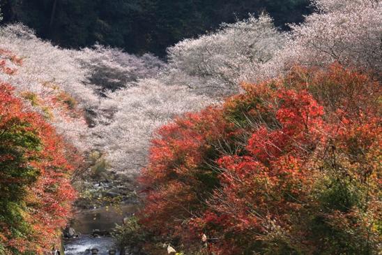 IMG_7824四季桜
