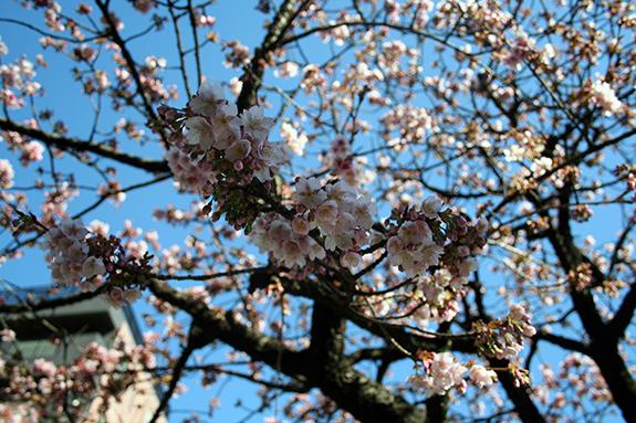 熱海河津桜