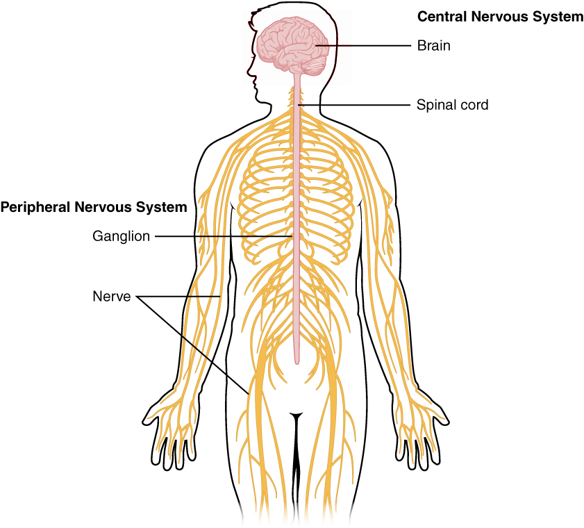 1201_Overview_of_Nervous_System.jpg