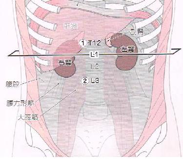 HP 腎臓の位置①