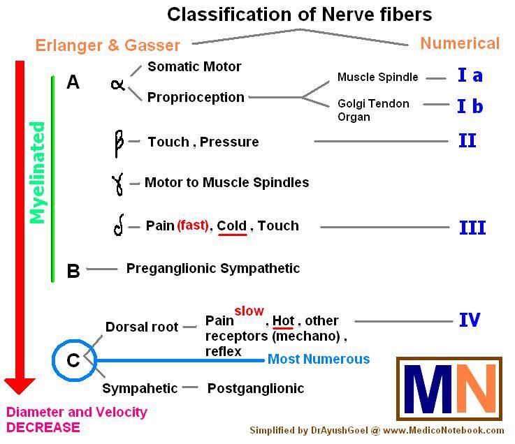 Nerve fibers