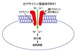 TRPV1.png