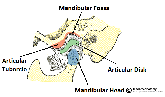 boney-surfaces-of-the-temporomandibular-joint.png