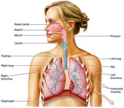 respiratory-system0615.jpg