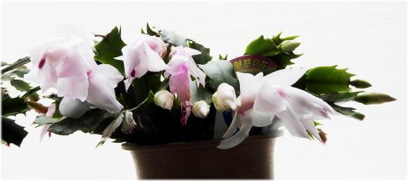 白花シャコバサボテン