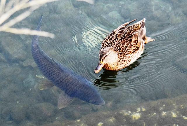 カモと鯉web
