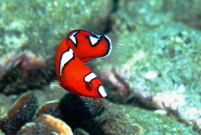 ツユベラ幼魚web